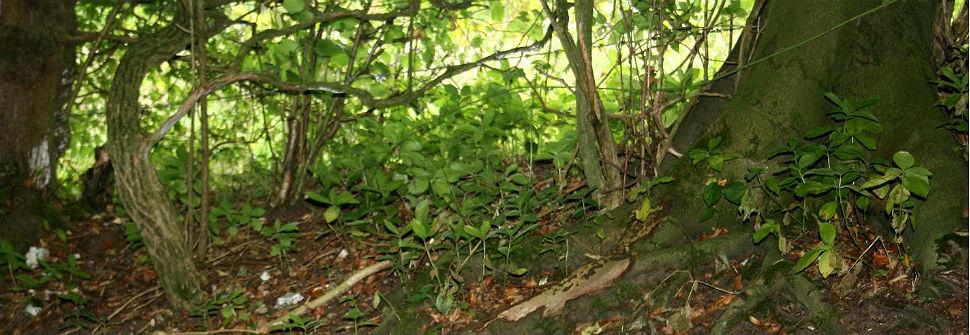 Los niveles bajos de nitrógeno en los suelos de los bosques urbanos se relacionan con una mayor cantidad de especies introducidas o exóticas.